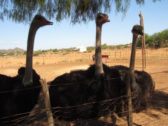 Ostrich Trio